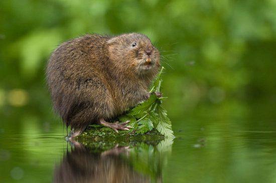 как избавиться от водяных крыс