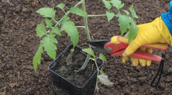 как посадить переросшие помидоры в теплицу