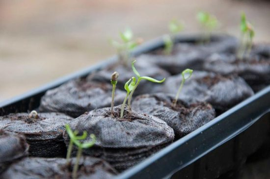 как посадить петунию в торфяные таблетки