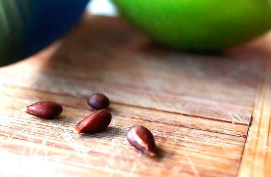 как вырастить яблоню из семечки