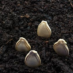 как замачивать семена тыквы перед посадкой
