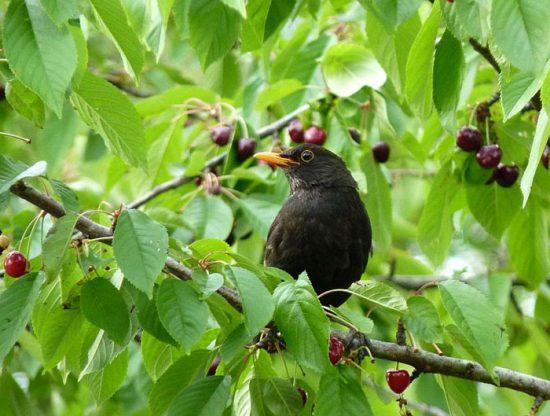 как защитить черешню от птиц