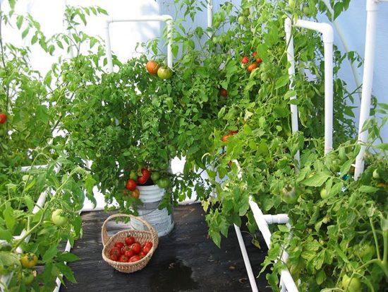 какая температура должна быть в теплице для помидор