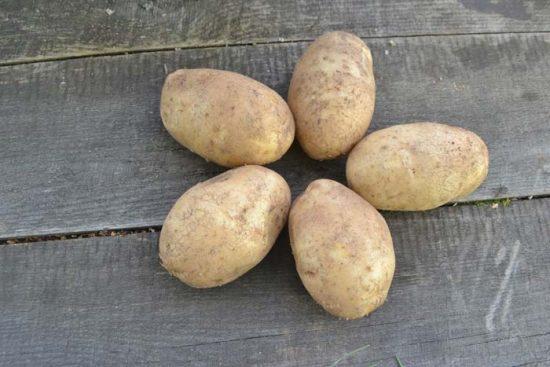 картофель удача описание сорта