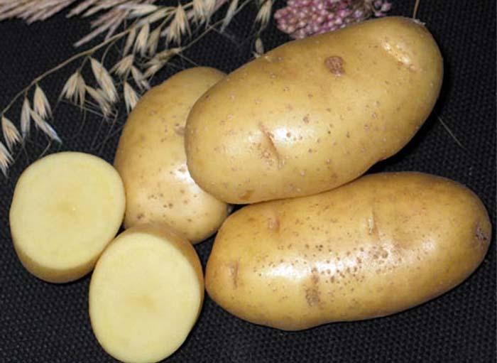 Картофель удача описание сорта фото