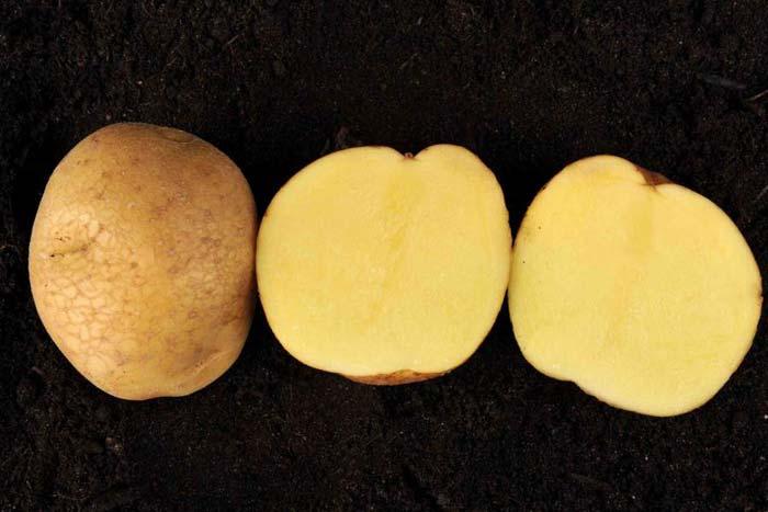 много любителей картофель венета описание сорта фото оптимальным местом