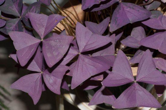 кислица комнатная фиолетовая