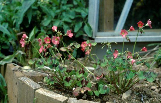 кислица садовая