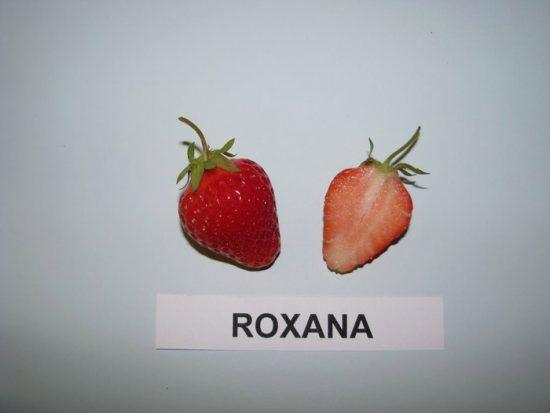 клубника роксана описание сорта
