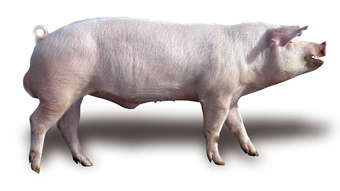 фото, картинка картинки свиней ландрас лимфатические