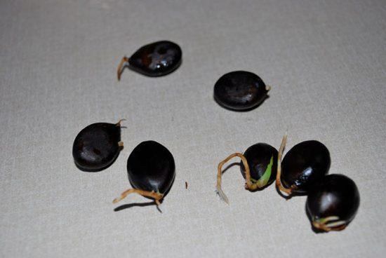мушмула японская выращивание в домашних условиях