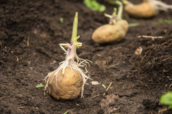 на какую глубину сажать картошку