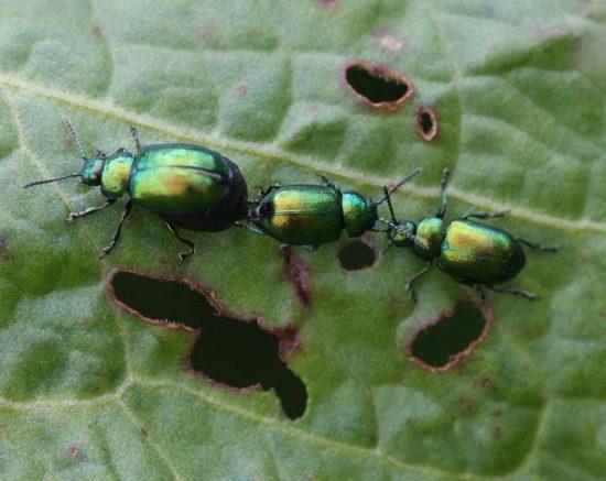 на щавеле зеленые жучки как избавиться
