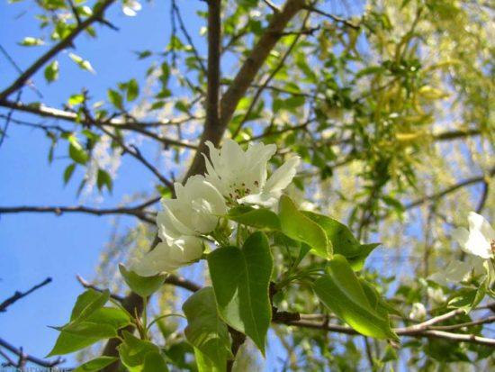 нужно ли обрывать первые цветы у яблони