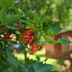 обработка смородины осенью от вредителей и болезней