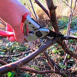 обрезка смородины осенью для начинающих