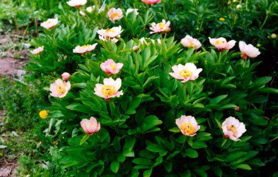 пионы травянистые сорта с фото