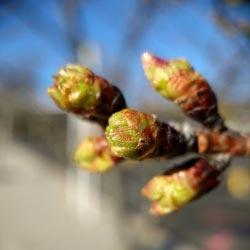 почему не цветет вишня