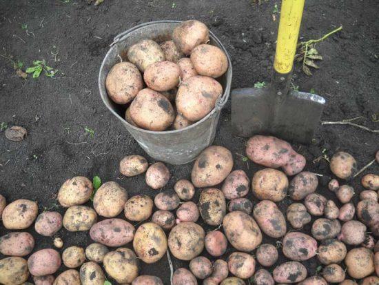сорта картофеля для средней полосы России