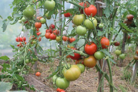 томат благовест