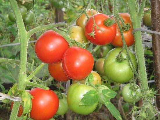 томат евпатор