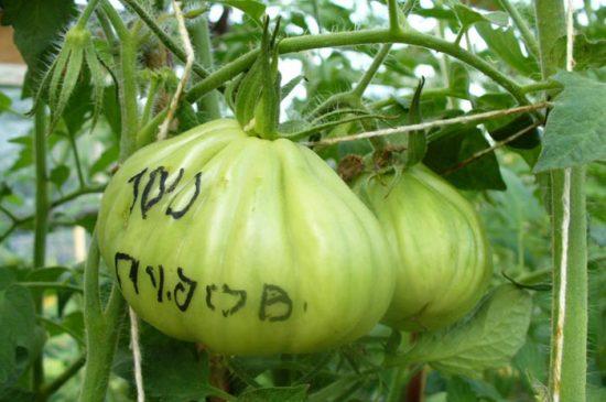 томат сто пудов