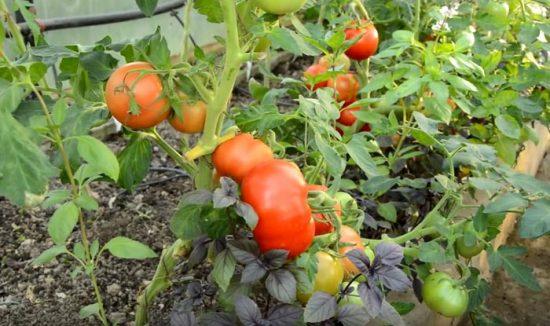 томат взрыв