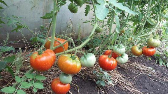 томат хлебосольный