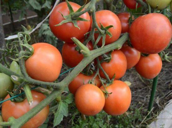 томат ямал