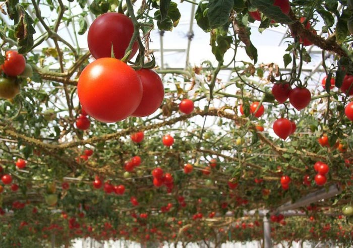 размещению томатное дерево фото описание театры