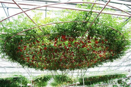 томатное (помидорное) дерево спрут f1