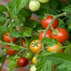 томаты низкорослые