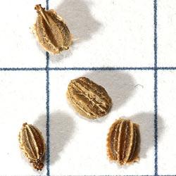 в чём замочить семена моркови перед посадкой