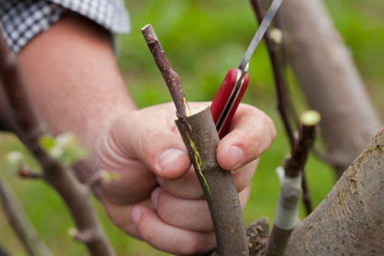заготовка черенков яблони