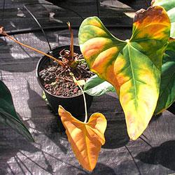 антуриум желтеют листья