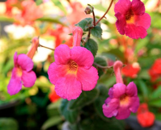 ахименесы уход и выращивание в домашних условиях