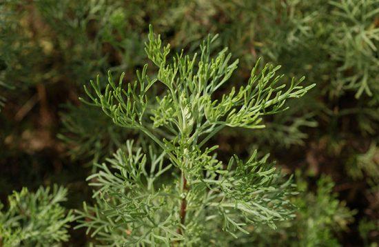 божье дерево лечебные свойства
