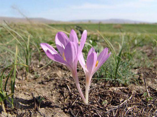 цветок безвременник фото посадка и уход