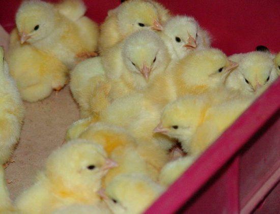 цыплята бройлеры выращивание и уход