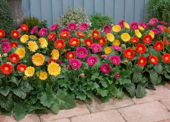 герберы в саду
