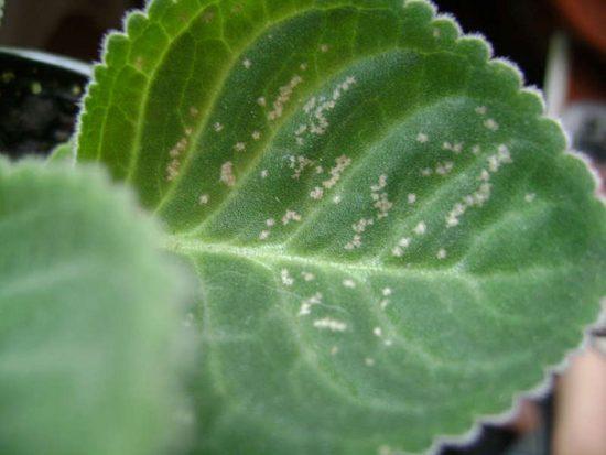 глоксиния болезни листьев и лечение
