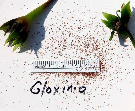 глоксиния фото размножение