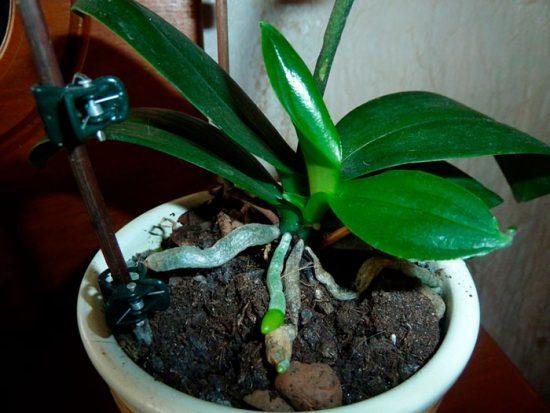 как отсадить детку орхидеи