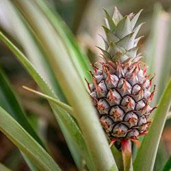 как посадить ананас в домашних условиях