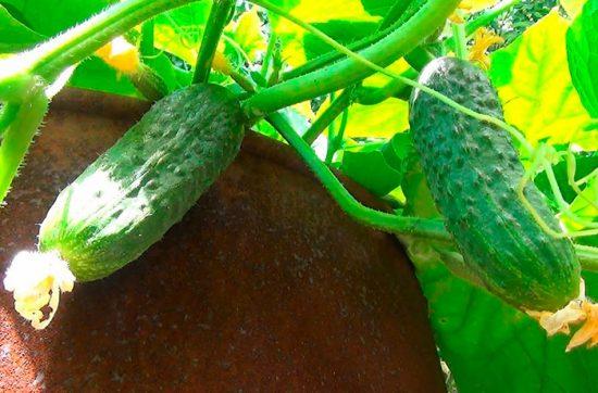 как посадить огурцы в бочке