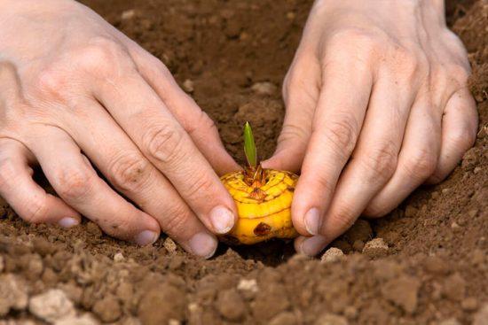 как проращивать гладиолусы