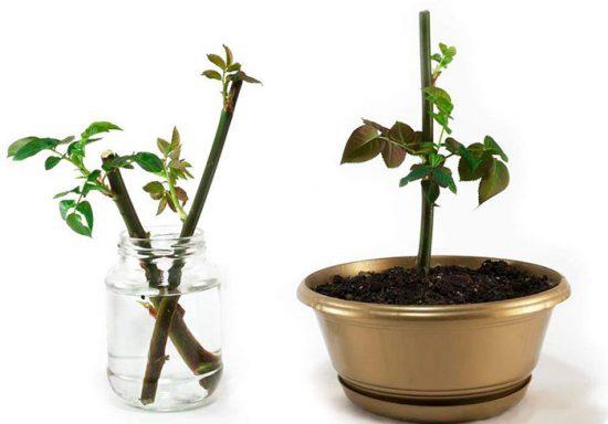 как проращивать розы из букета
