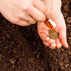 как прорастить семена моркови