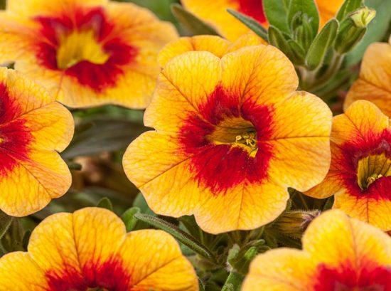 калибрахоа фото цветов