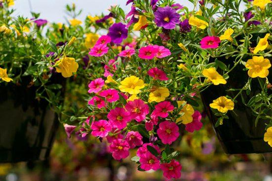 калибрахоа выращивание и уход